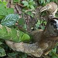 Brown-throated Three-toed Sloth by Suzi Eszterhas