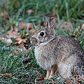 Eastern Cottontail Rabbit by Jack R Brock