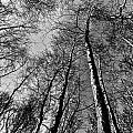Epping Forest Trees by David Pyatt