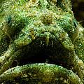 Frogfish by Dant� Fenolio