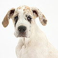 Great Dane Pup by Mark Taylor
