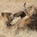 Grizzly Bear Ursus Arctos Horribilis by Matthias Breiter