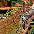 Iguana Lizard by Werner Lehmann