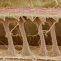 Inner Ear Hair Cells, Sem by Steve Gschmeissner