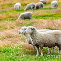 Sheeps by MotHaiBaPhoto Prints
