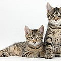 Tabby Kittens by Mark Taylor