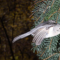 Tufted Titmouse In Flight by Ted Kinsman