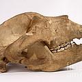 Kodiak Bear Skull by Ted Kinsman