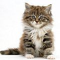 Maine Coon Kitten by Mark Taylor