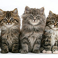 Maine Coon Kittens by Mark Taylor