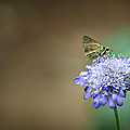 1205-8785 Skipper On A Butterfly Blue Pincushion Flower by Randy Forrester