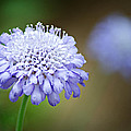 1205-8794 Butterfly Blue Pincushion Flower by Randy Forrester