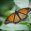 1205-8934 Monarch In Spring by Randy Forrester