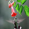 Ruby-throated Hummingbird by Jack R Brock