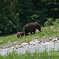 Black Bear Family by Carol Ailles