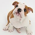 Bulldog Pup by Mark Taylor