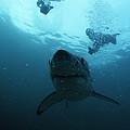 Great White Shark by Alexis Rosenfeld