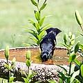 Red-winged Blackbird by Jack R Brock