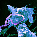 Bacteria Infecting A Macrophage, Sem by