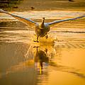 Mute Swan by Brian Stevens