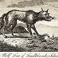 1778 Falkland Islands Wolf Fox Extinct by Paul D Stewart