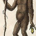 1795 Wild Man Of The Woods - Orangutan. by Paul D Stewart