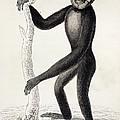 1833 Jardine Hylobates Hoolock Gibbon by Paul D Stewart