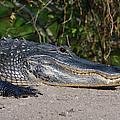 19- Alligator by Joseph Keane
