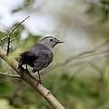 Gray Catbird by Jack R Brock