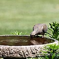 Mourning Dove by Jack R Brock