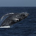 A Breaching Humpback Whale by Ralph Lee Hopkins