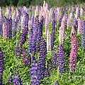 A Field Of Lupins by Ted Kinsman