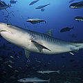 A Large 10 Foot Tiger Shark Swims by Terry Moore