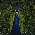 A Male Peacock Displays His Beautiful by Joel Sartore