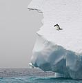 Adelie Penguin Pygoscelis Adeliae by Suzi Eszterhas