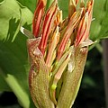 African Blood Lily Or Fireball Lily by J McCombie