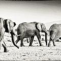 African Elephant In The Masai Mara by Perla Copernik