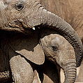 African Elephant Loxodonta Africana by San Diego Zoo