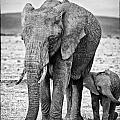 African Elephants In The Masai Mara by Perla Copernik