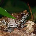 Amazon Milk Frog by Paul Slebodnick