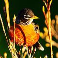 American Robin by Paul Ge