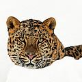 Amur Leopard In Snow by D Robert Franz