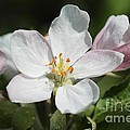 Apple Blossom by J McCombie