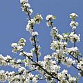 Apple Trees In Full Bloom by Wilfried Krecichwost