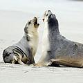 Australian Sea Lions by Tony Camacho