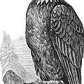Bald Eagle by Granger