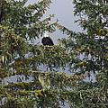 Bald Eagle Haliaeetus Leucocephalus by Konrad Wothe