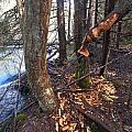 Beaver Marks by Jouko Lehto