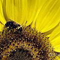 Bee And Sunflower by John Greim