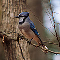 Blue Jay by Josef Pittner